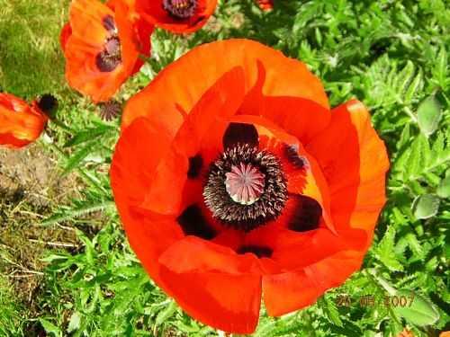 Papaver orientale Turkish poppy seeds