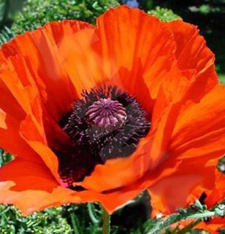 Papaver orientale Allegro Compact Oriental Poppy seeds
