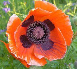 Papaver orientale Brilliant Oriental Poppy seeds