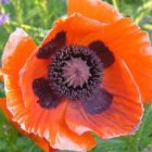 Papaver orientale Brilliant  semillas