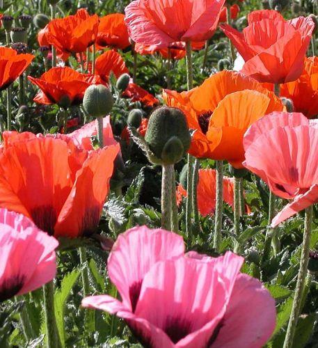 Papaver orientale Pizzicato Dwarf oriental Poppy seeds