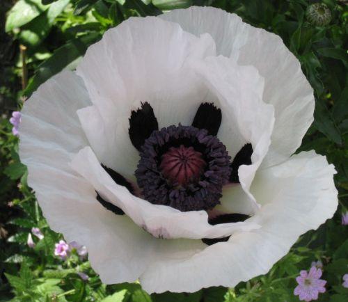 Papaver orientale Royal Wedding Poppy Royal Wedding seeds
