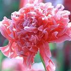 Papaver paeoniflorum Antique Shades  semi
