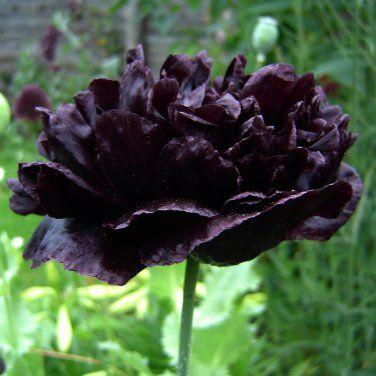 Papaver paeoniflorum Black Peony Peony Poppy - Breadseed Poppy seeds