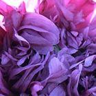 Papaver paeoniflorum Lilac Pompom  semi