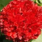 Papaver paeoniflorum Scarlet Pavot Scarlet graines