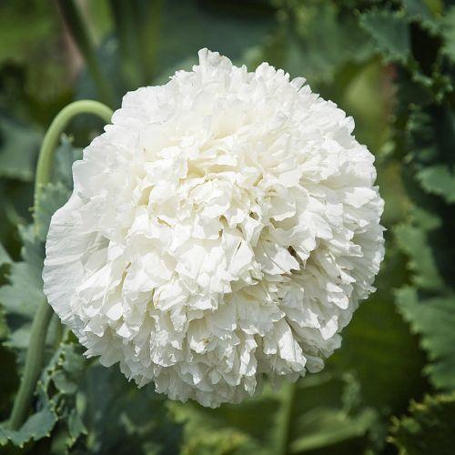 Papaver paeoniflorum White Cloud Poppy White Cloud seeds