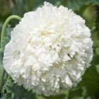 Papaver paeoniflorum White Cloud Pavot blanc nuage graines