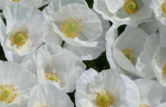 Papaver rhoeas Bridal Silk Iceland poppy seeds