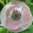 Papaver rhoeas Mother of Pearl Mischung Mohn - Islandmohn Samen