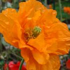 Papaver ruprifragum Double Tangerine Gem Poppy Double Tangerine Gem graines