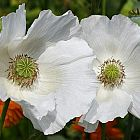 Papaver somniferum Sissinghurst White  semillas