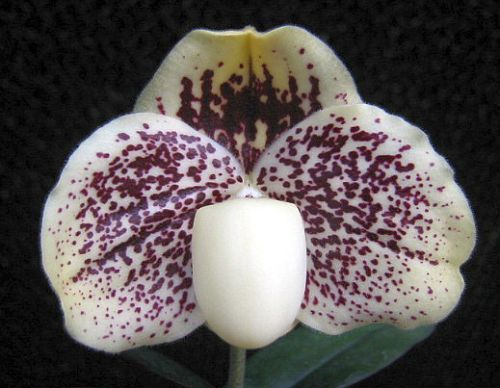 Paphiopedilum godfroyae lady slipper orchids seeds