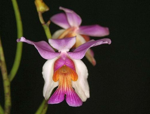 Papilionanthe teres orchids seeds