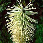 Paranomus reflexus Proteaceae semillas