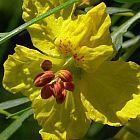 Parkinsonia aculeata Иерусалимский терн   cемян