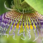 Passiflora maliformis  semillas