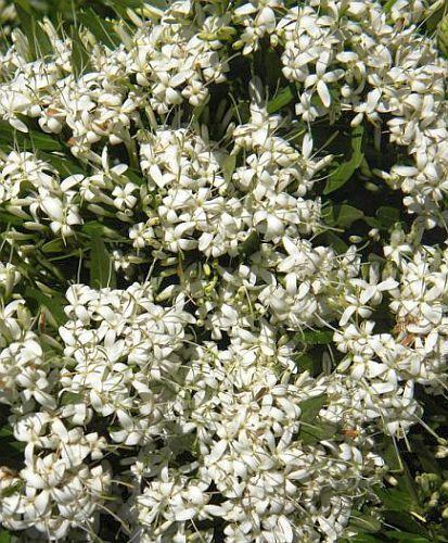Pavetta cooperi Christmas bush seeds