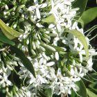 Pavetta lanceolata Brautbusch - Weihnachtsstrauch Samen