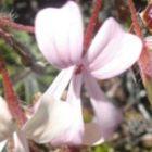 Pelargonium alchemilloides Jardin Geranium graines