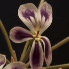Pelargonium anethifolium Geranien Samen
