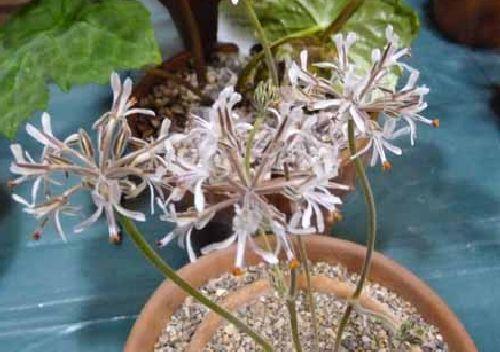 Pelargonium auritum ssp auritum caudiciform seeds