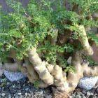 Pelargonium carnosum  cемян