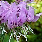 Pelargonium cordifolium P?largonium graines