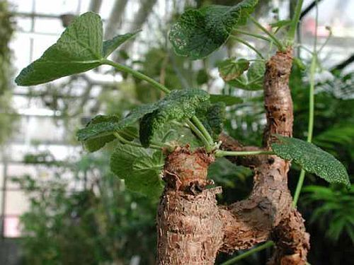Pelargonium cotyledonis Old father live forever - caudiciform seeds