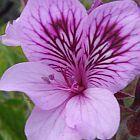 Pelargonium cucullatum  cемян