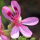Pelargonium glutinosum geranio semillas