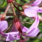Pelargonium multicaule ssp multicaule  semillas