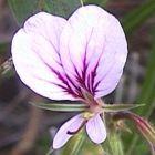 Pelargonium myrrhifolium var fruticosum  semillas