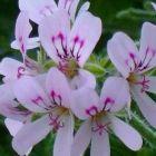 Pelargonium radens Rosenpelargonie Samen
