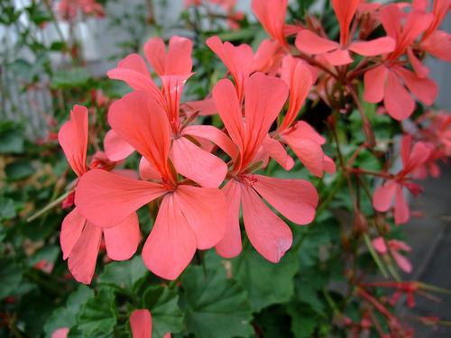 Pelargonium salmoneum Pelargonium seeds