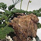 Pelargonium triste  cемян