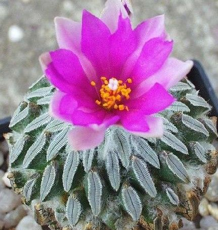Pelecyphora aselliformis Hatchet cactus - Woodlouse cactus seeds