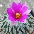 Pelecyphora aselliformis Asselkaktus Samen