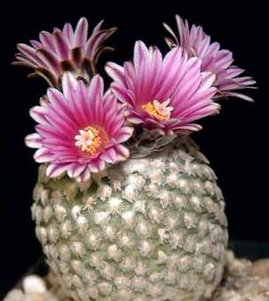 Pelecyphora valdeziana cactus seeds
