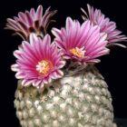 Pelecyphora valdeziana Kaktus Samen