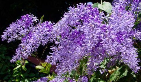Petrea volubilis Purple Wreath - Queens Wreath seeds