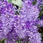 Petrea volubilis P?tr?e - Liane Saint Jean - Liane violette graines
