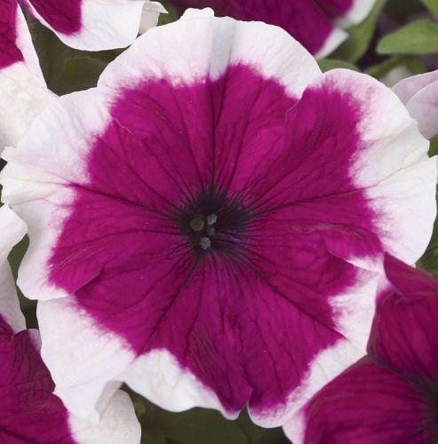 Petunia Hulahoop Burgundy F1 Petunia Hulahoop Burgundy F1 seeds
