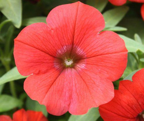 Petunia Nana Compacta Scarlet Scarlet Petunia seeds