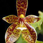 Phalaenopsis cornucervi  cемян