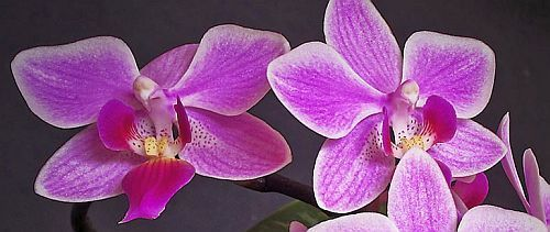 Phalaenopsis equestris orchids seeds