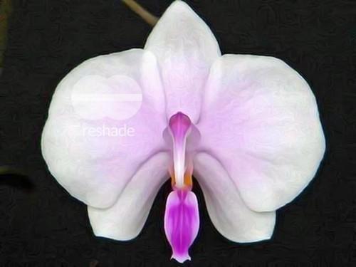 Phalaenopsis lowii orchids seeds