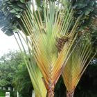 Phenakospermum guyannense  semillas