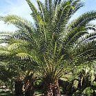 Phoenix reclinata palmera de la fecha salvaje semillas