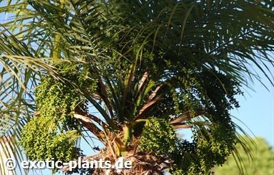 Phoenix roebelenii Pygmy Date Palm seeds